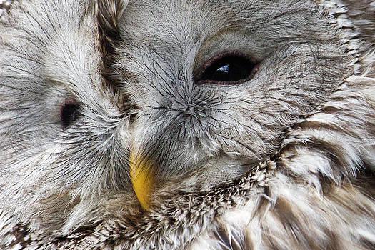 David Pringle - Ural Owl