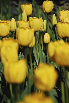 Vanderbilt Tulips by Ryan Louis Maccione