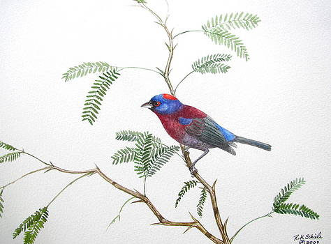 Varied Bunting and Mezquite by Robin Schiele