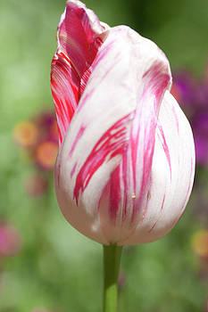 Gilbert Artiaga - Variegate Tulip