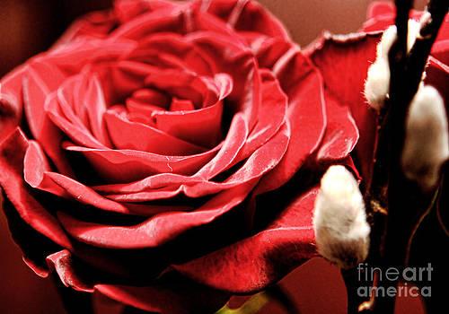 Anne Ferguson - Velvet Roses-Pussywillows