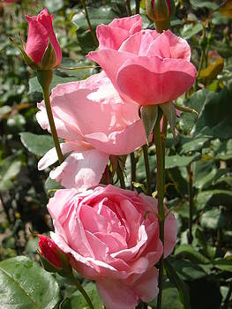 Vertical Pink Roses by Liliana Ducoure
