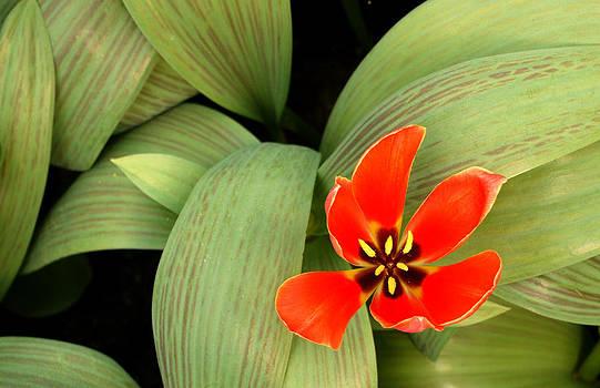 Vibrant Red Flower by Kelsey Horne