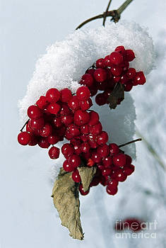 Viburnum berries covered with snow by Elena Filatova