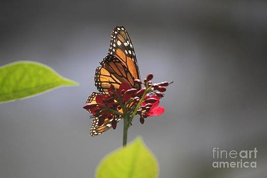Viceroy at Rest by Theresa Willingham