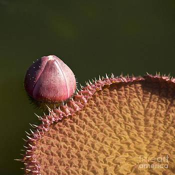 Heiko Koehrer-Wagner - Victoria Amazonica Bud and Leaf