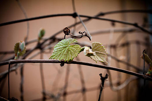Vine on Fence by Erik Hovind