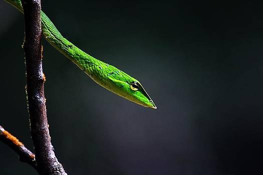Vine snake by Dhruv Ashra