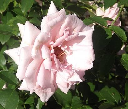 Vintage Pink Rose by Kathy Budd