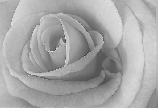 Michael Peychich - Vintage Rose