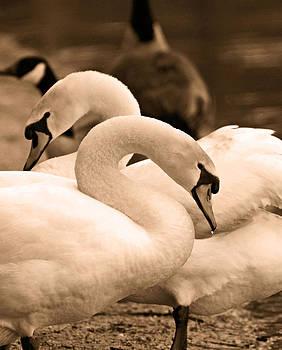 Carmen Del Valle - Vintage Swans