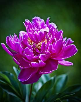 Violent Peony Three by Michael Putnam