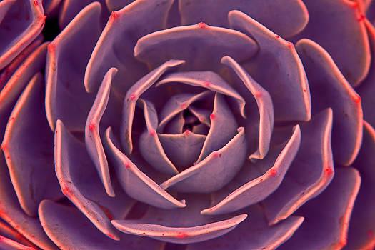 Violet Echeveria by Rick Mutaw