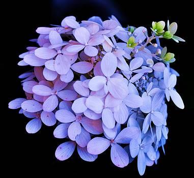 Violet Hydrangea Bloom by Lisa  DiFruscio