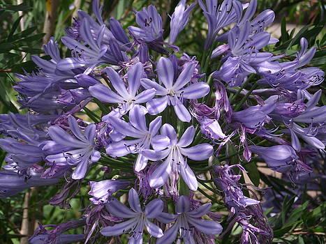 Violet Stars by Rani De Leeuw