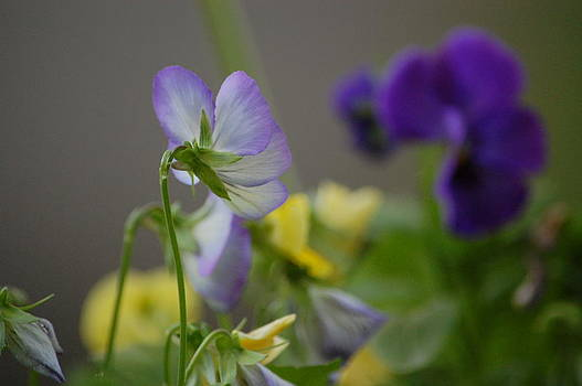 Mary McAvoy - Violets