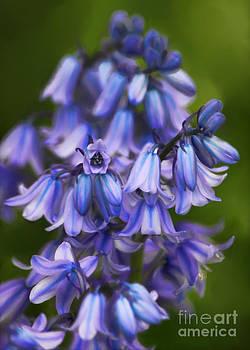 Virginia Bluebells by Jeff Breiman