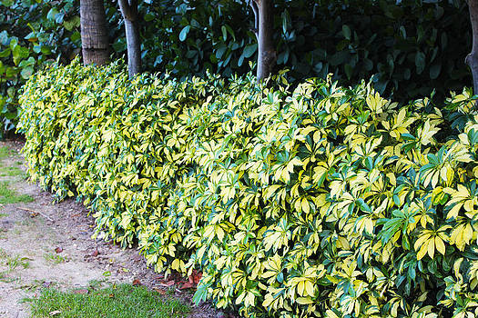 Wall of Shrubbery  by Zahid Mian