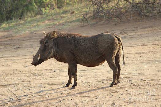 Warthog by Alexandra Bento