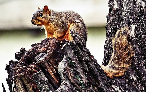 KayeCee Spain - Watchful Squirrel