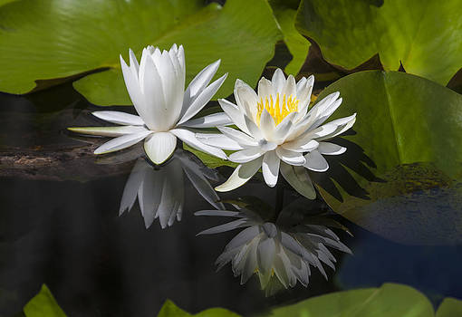 Terry Shoemaker - Water Lilies and reflection