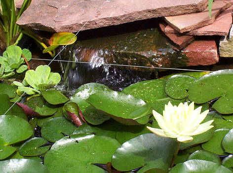 Water lillies by Richard Willows