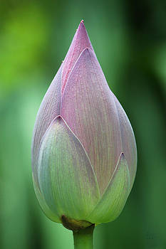 Water Lily Bud  by Bennie McLendon