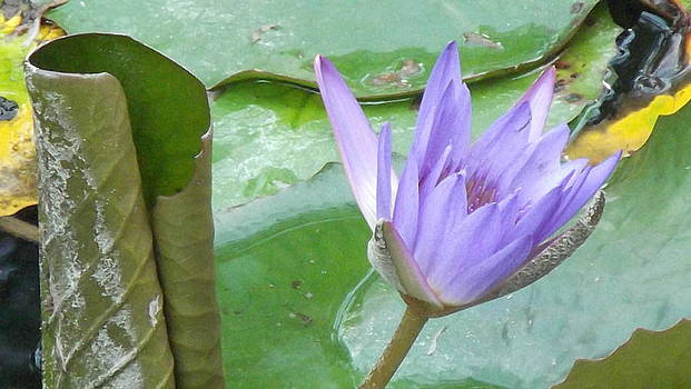 Water Lily by Furin Erika