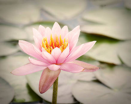 Water Lily III by Tammy Smith