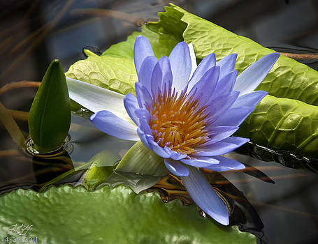 Water LIly by Kenneth Hadlock