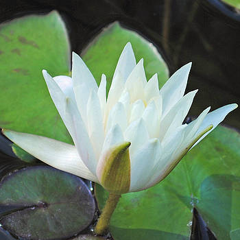 Water Lily by Kimberly Harrison