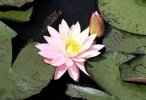 Milena Ilieva - Water Lily