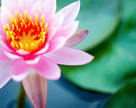Water Lily by Tammy Smith