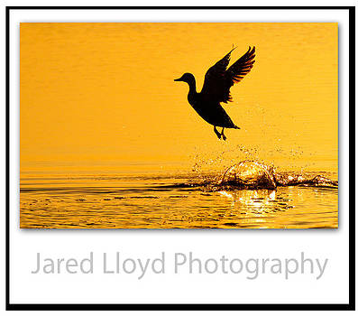 Waterfowl Bliss by Jared Lloyd