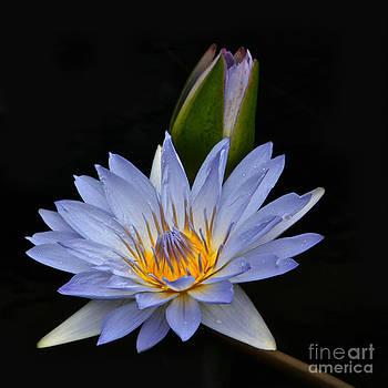 Byron Varvarigos - Waterlily Flower And Bud