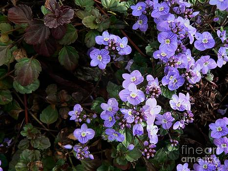 Diana Besser - Waterperry Blue Veronica ground cover 1