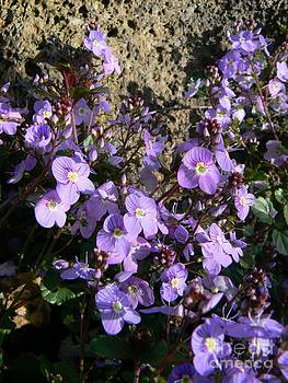 Diana Besser - Waterperry Blue Veronica ground cover