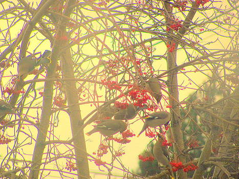Waxed Wing Birds Eating Mountain Ash Tree Berries by Amy Bradley