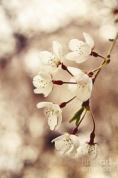 Weeping Cherry  by Ekaterina LaBranche