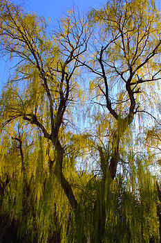 Weeping Willow by Micheal Landers