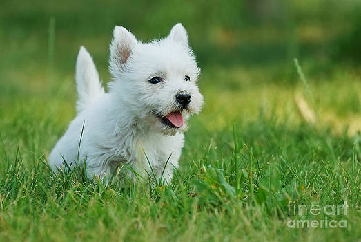 Waldek Dabrowski - West highland white terrier puppy portrait