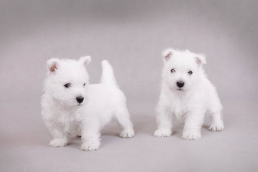 Waldek Dabrowski - West Highland White Terrier