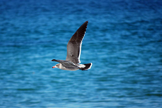 Harvey Barrison - Western Gull in Flight