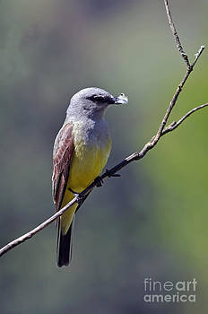 Western Kingbird  by Laura Mountainspring