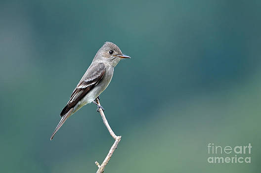 Western Wood-Pewee by Laura Mountainspring