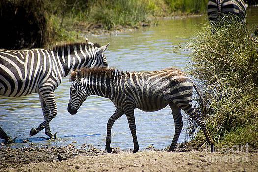 Darcy Michaelchuk - Wet Baby Zebra