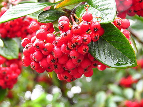 Wet Holly Berries by Tony and Kristi Middleton