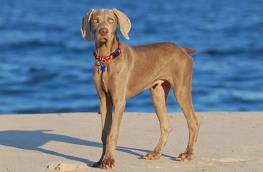 What - Weimaraner Puppy by Angie Tirado