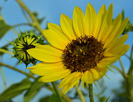 Wheelock Prairie Morning Sunflower by Charles Frieda