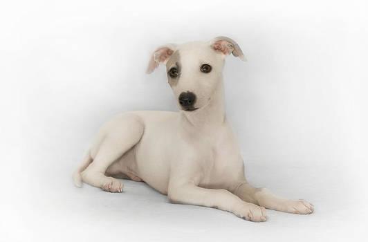 Whippet Puppy by John Clum